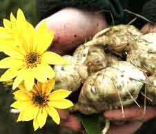 Топинамбур - цветок и корень