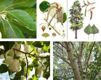 Листья тополя для суставов