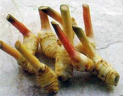 Корень калгана - лапчатки